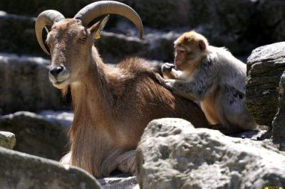 коза и обезьяна совместимость