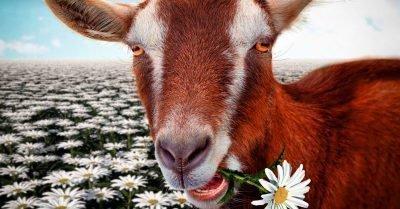 коза и собака совместимость