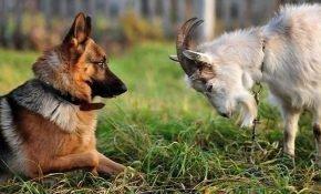 Совместимость гороскопов Собаки и Козы