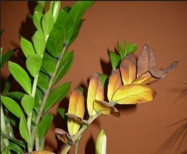Высыхание листьев - плохая примета