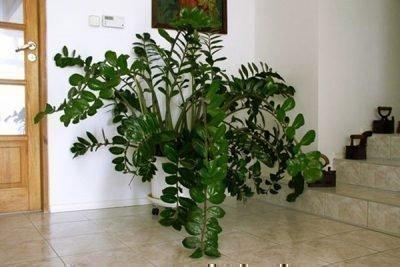 Здоровое и пышное долларовое дерево