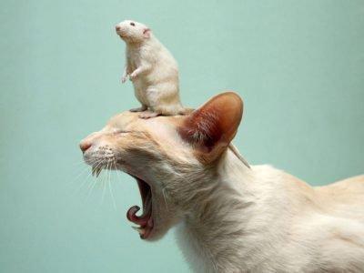 кролик и крыса совместимость