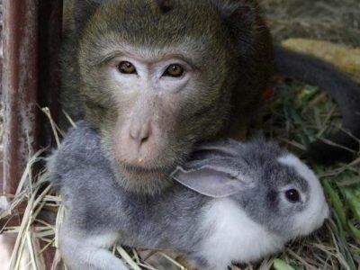 кролик и обезьяна совместимость