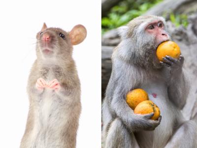 крыса и обезьяна совместимость