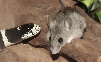 крыса и змея совместимость