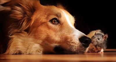 собака и крыса совместимость