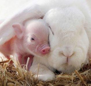 совместимость кабан и кролик