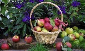 Обряд присушки на яблоко