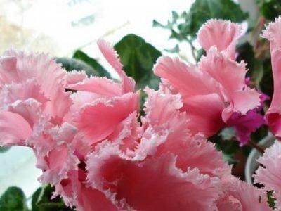 Женский цикламен - белый и розовый