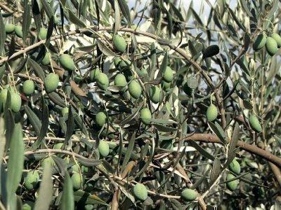 Ветви маслины с плодами