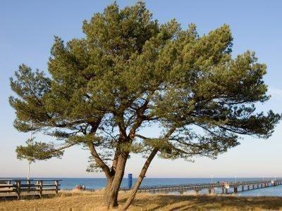 Дерево сосны и пирс, уходящий в море