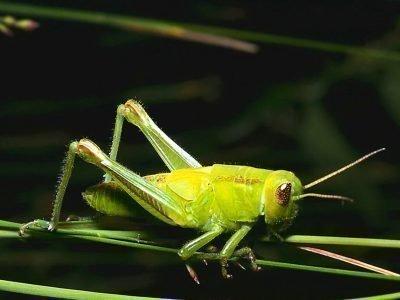 Зеленый кузнечик на травинке