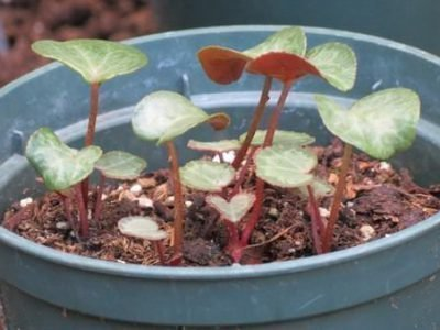 Выращвание цикламена из семян