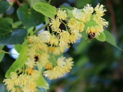 Цветки липы и пчела