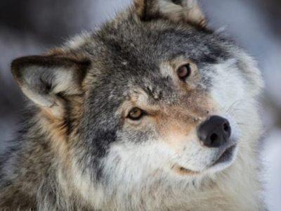 руна волка