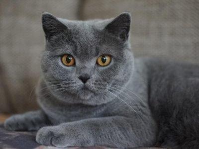 серый кот в доме приметы