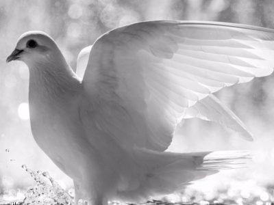 увидеть белого голубя на улице примета