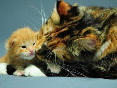 Трехцветная кошка с рыжим котенком