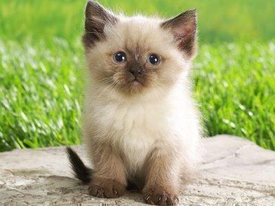 Сиамский котенок на траве