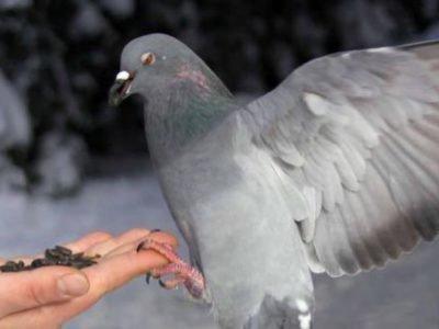Покормить голубя