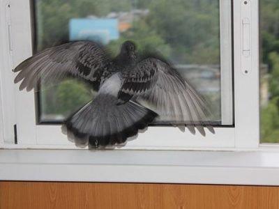 Голубь ударился в окно и улетел: толкование приметы 💗 Приметы животные