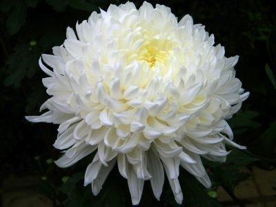 хризантемы к чему дарят