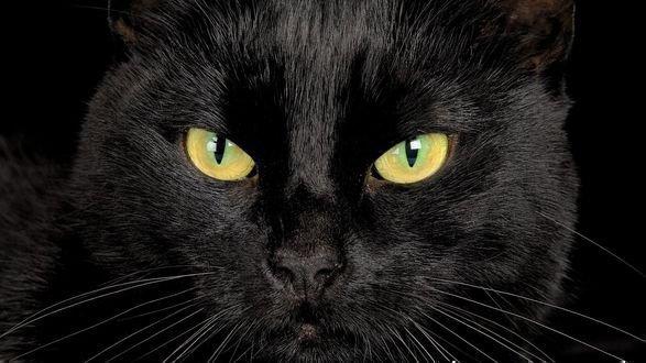 Черная кошка - мистическое животное