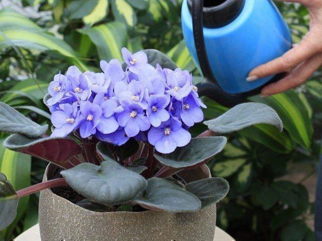 Фиалки в доме и какие приметы таит скромный цветок