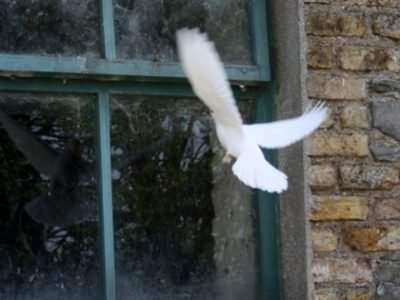 Белый голубь бьется в окно - приметы
