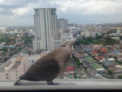 Горлица у окна - примета