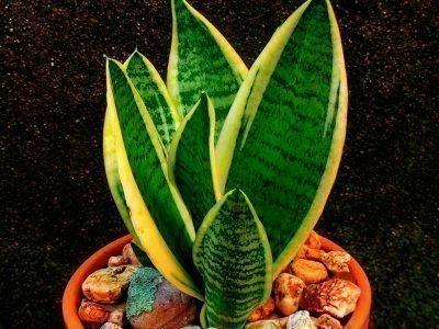 Сансиверия - комнатный цветок в горшке