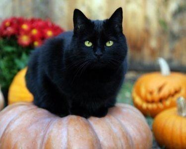 Домашний черный кот