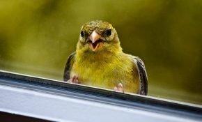 Что сулят приметы, если птица постучала в окно