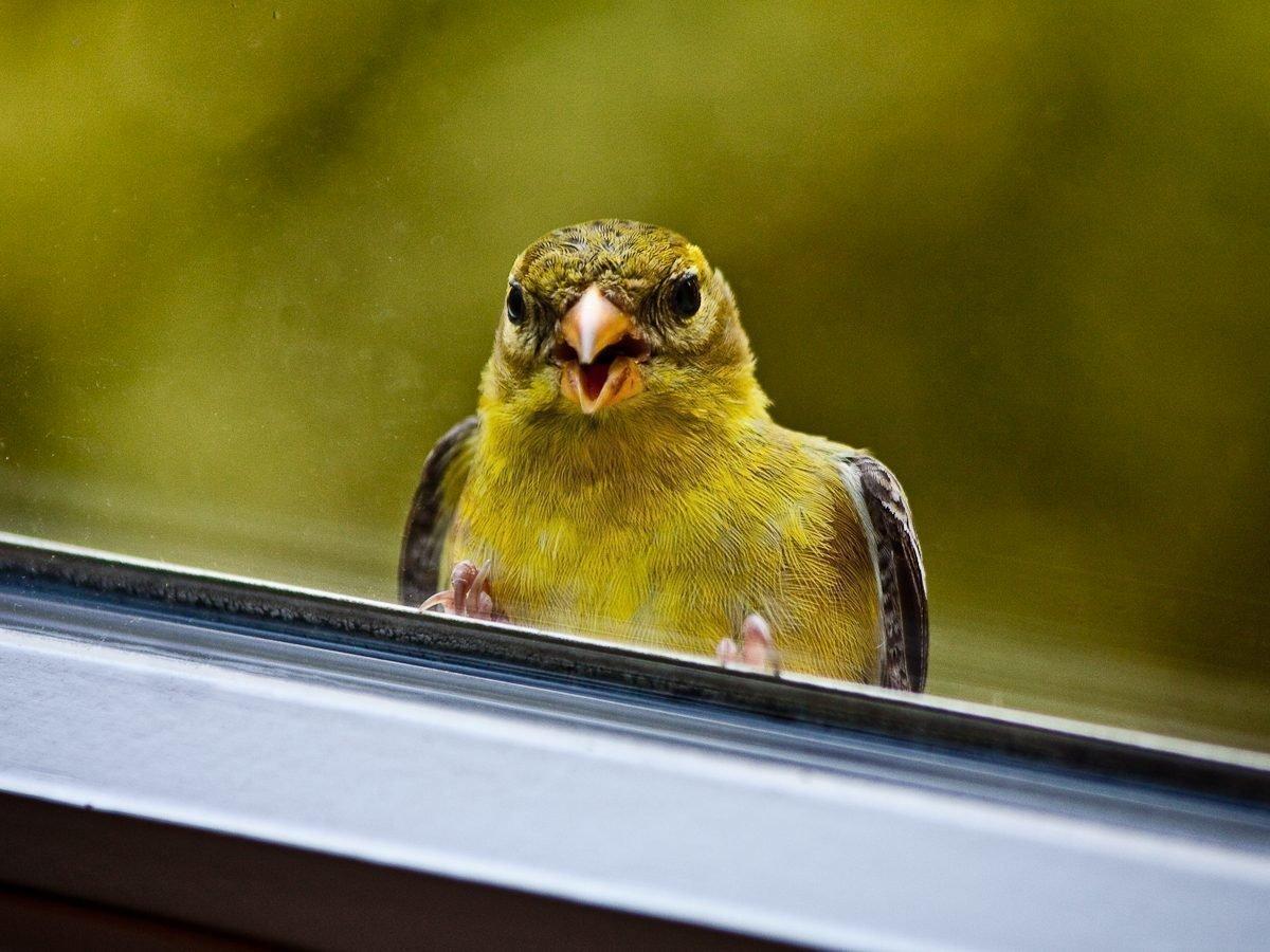 К чему птичка бьётся в окно примета. Народные приметы птица в окно