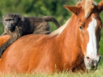 лошадь и обезьяна совместимость