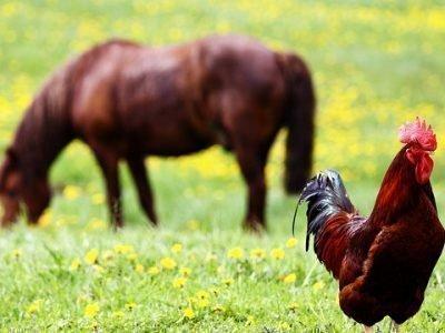 лошадь и петух совместимость