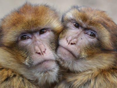 обезьяна и обезьяна гороскоп совместимости