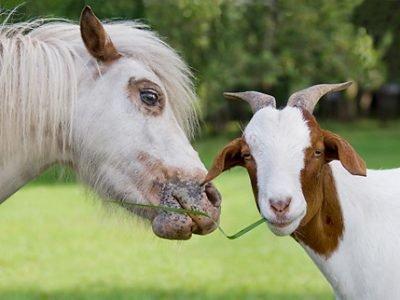 Лошадь и Коза совместимость