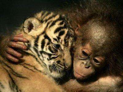 Знаки Тигр и Обезьяна - совместимость