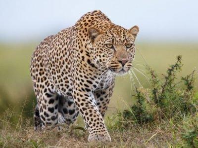 Леопард - животное-покровитель имени Диана