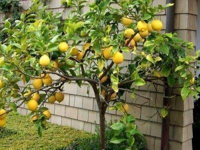 Лимонное дерево - тотем имени Римма