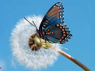 Бабочка - покровитель имени Алина