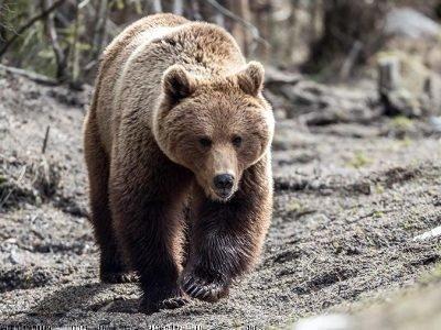 Медведь - тотемное животное имени Михаил