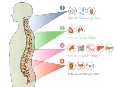 Связь позвоночника с внутренними органами человека