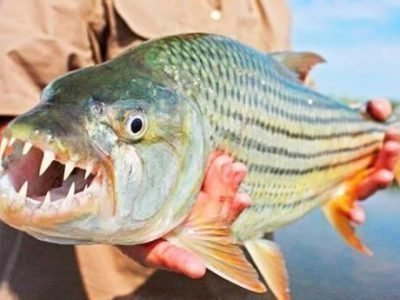 Зубатая рыба - приметы