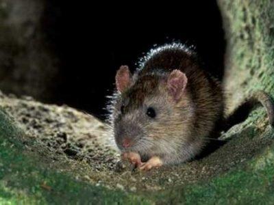 Серая мышь во сне - значение