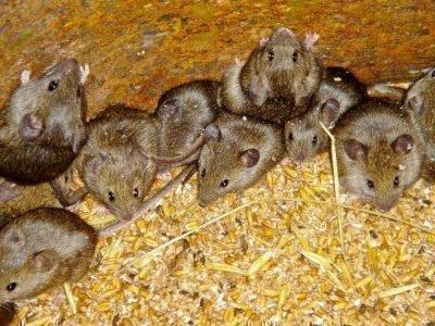 Много мышек во сне - толкование