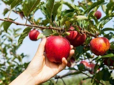 Собирать во сне зрелые яблоки