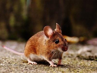 Мышь не убегает во сне - что это значит