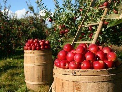 Собирать яблоки в бочку - значение сна